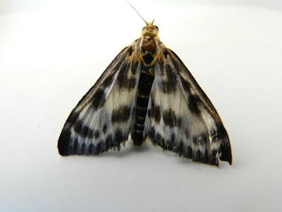 Black Moth Above Kitchen Table