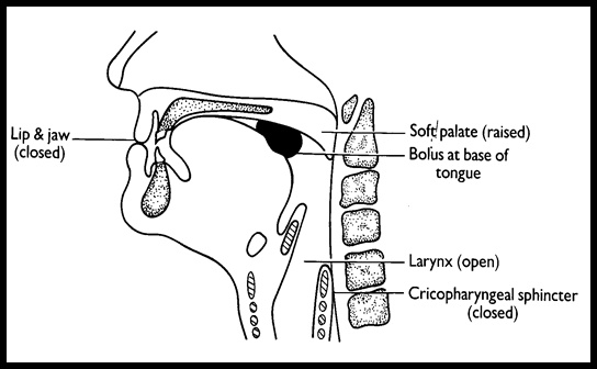 Medical Images  Stages Of Swallowing