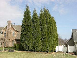 If You Live In Usda Plant Zone 6 B 7 Planting Leyland Cypress X Cupressocyparis Leylandii Could Eventually Turn Into A Maintenance Diseaster Your