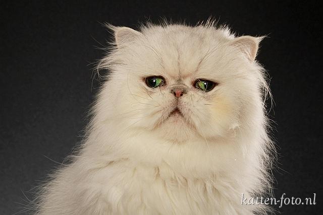 KattenFoto Perzisch Langhaar