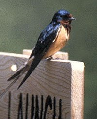 Nature: Observations and Meanings: Barn Swallow: Bringer ...