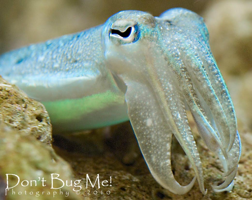 cute cuttle fish - HD1042×827