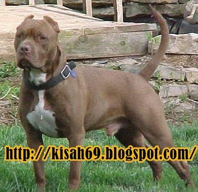Anjing Pitbull Serang Satpam