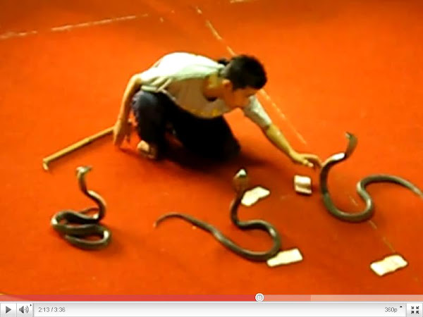 Most Poisonous Snakes: King Cobra Attack