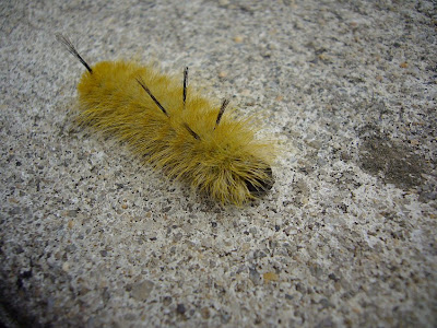 Mucknmire Yellow Hairy Caterpillar With A Few Black Hairs This Year S Cicada