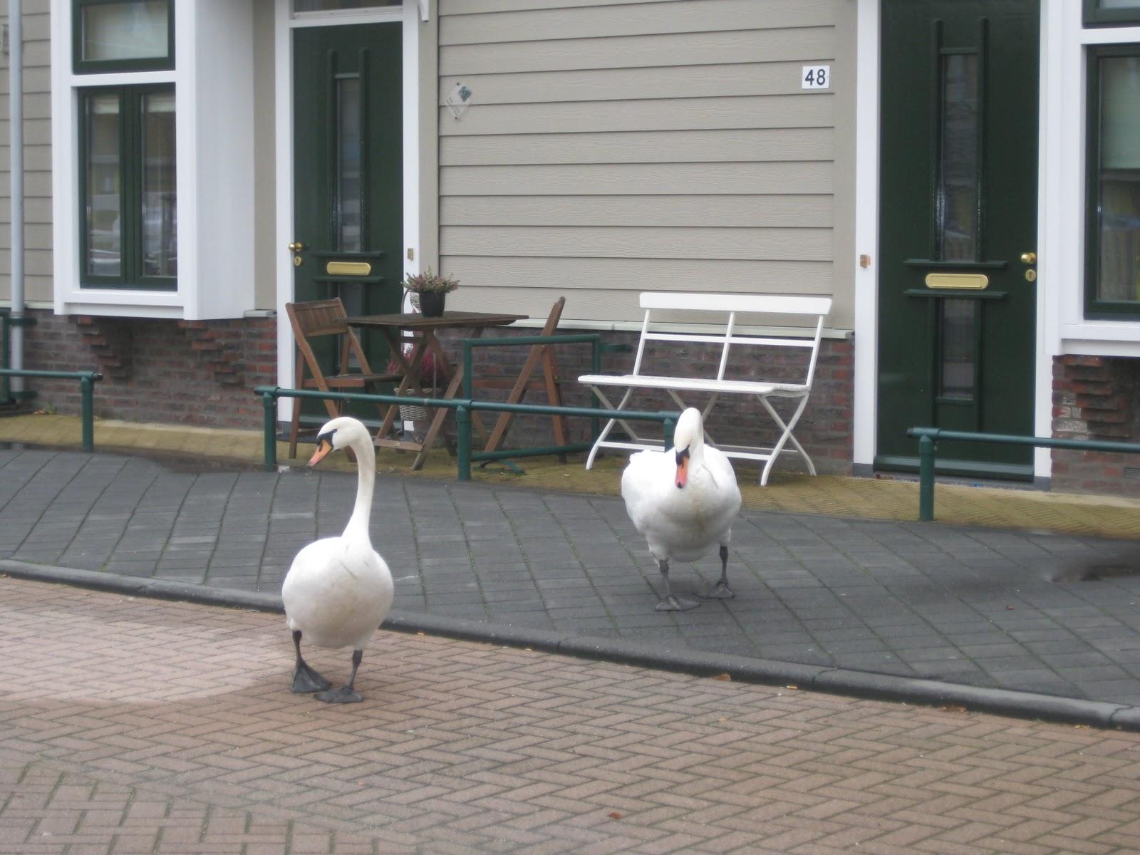 Swans in Utrecht