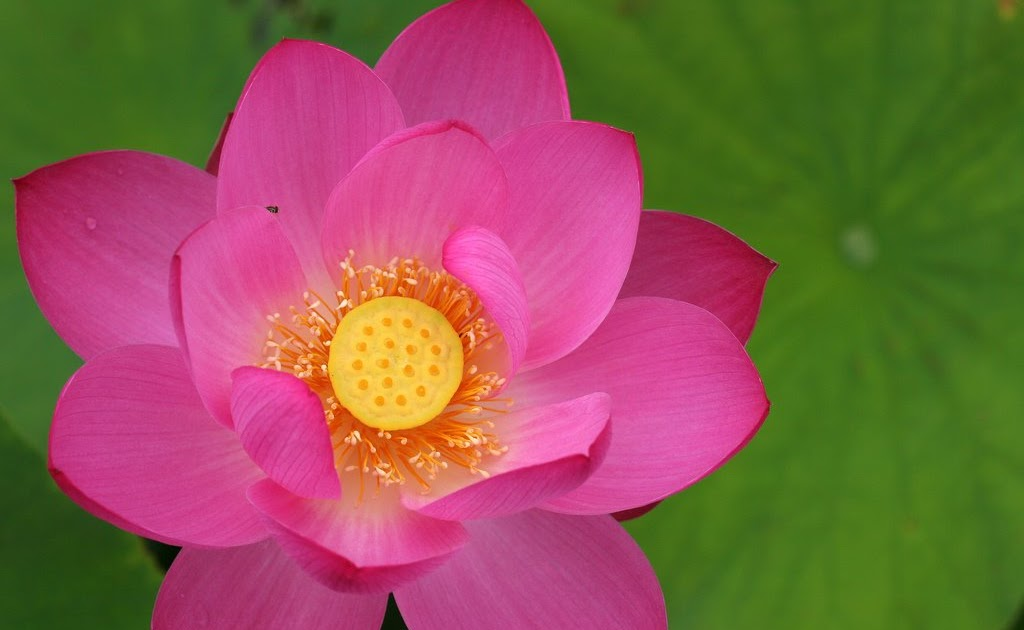NATURE OF ALL: LOTUS FLOWER