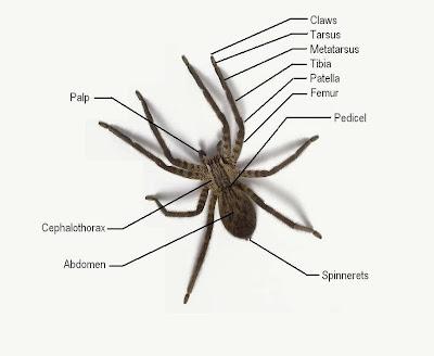 spider diagram michigan spiders