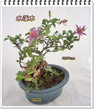 Kennyㄉ上品私藏: 小品盆栽管理應有的觀念