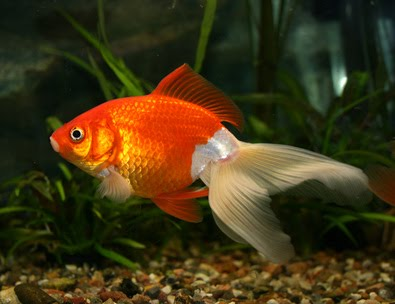 Pet Care And Pet Supplies: Types of Goldfish