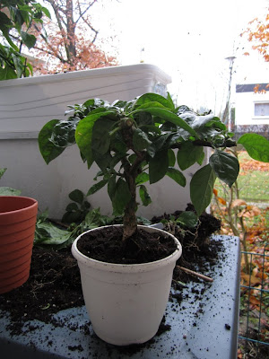 chili bonsai rohling