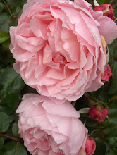 The Mayflower Austinros