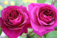Munstead Wood Austinros