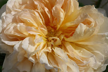 Austinros Tea Clipper