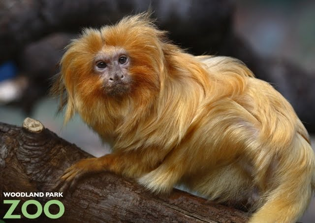 Woodland Park Zoo Blog: Tamarins rescued from the brink