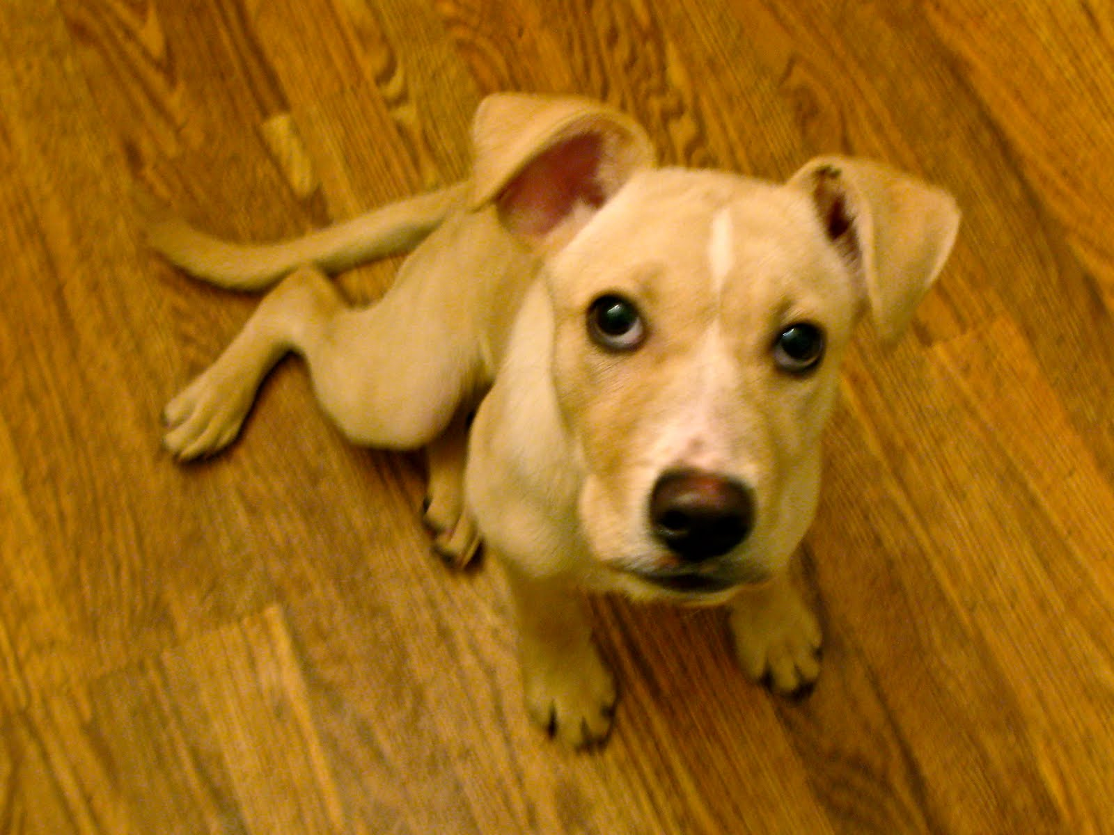 the foster roster: lily :: lab/terrier mix