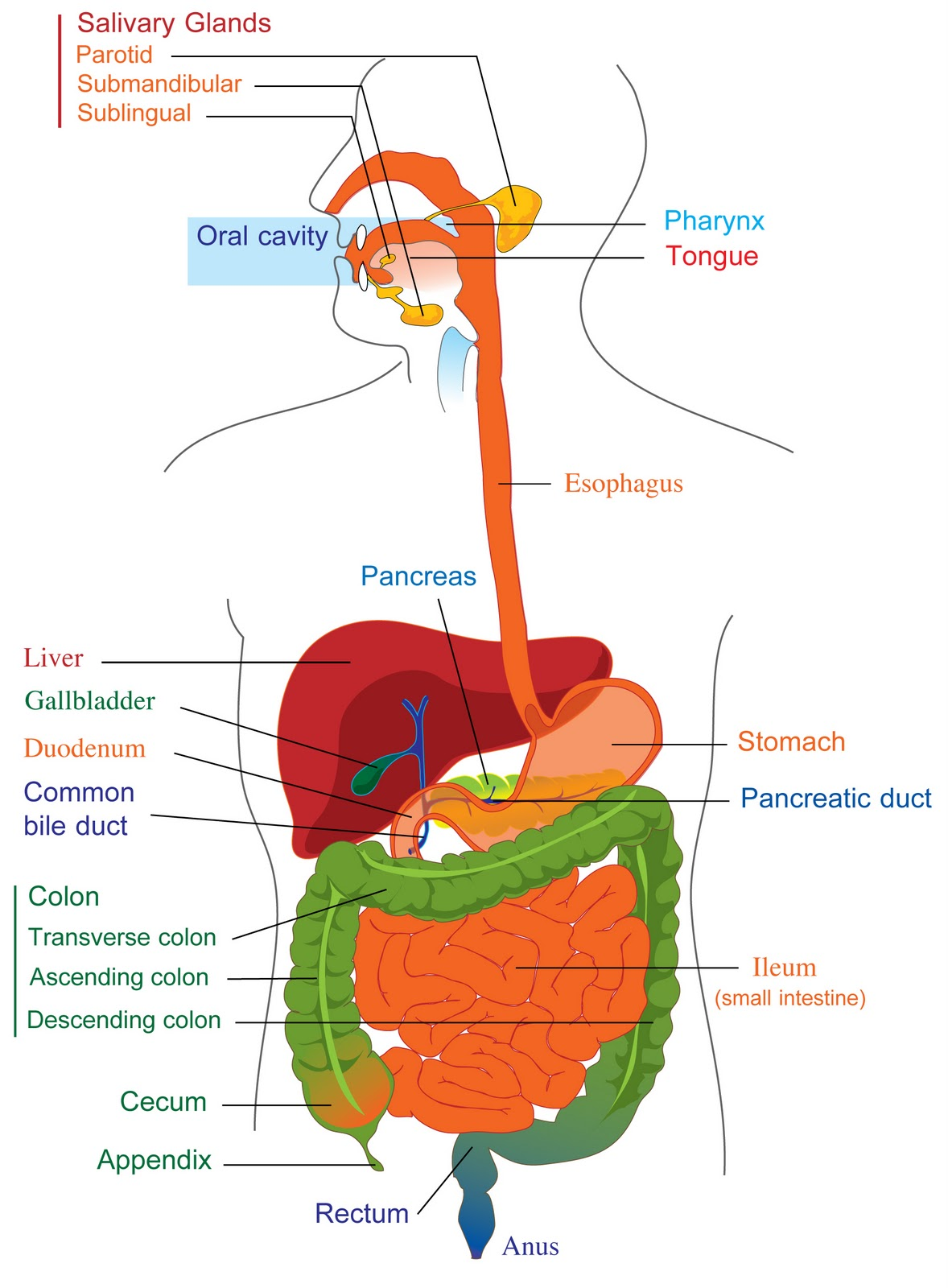 The Digestive System And Its Functions