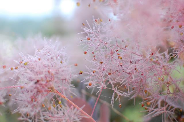 Pennsylvania Perennial Garden with Smokebush
