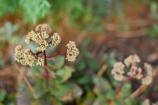 Pennsylvania Perennial Garden with Sedum Matrona