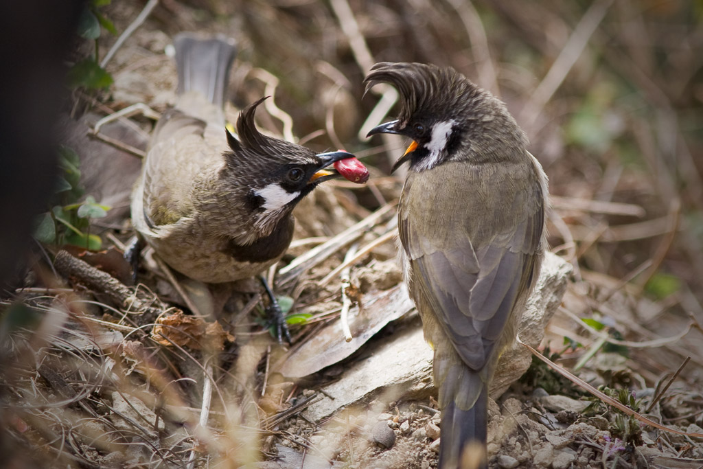White-cheeked bulbuls