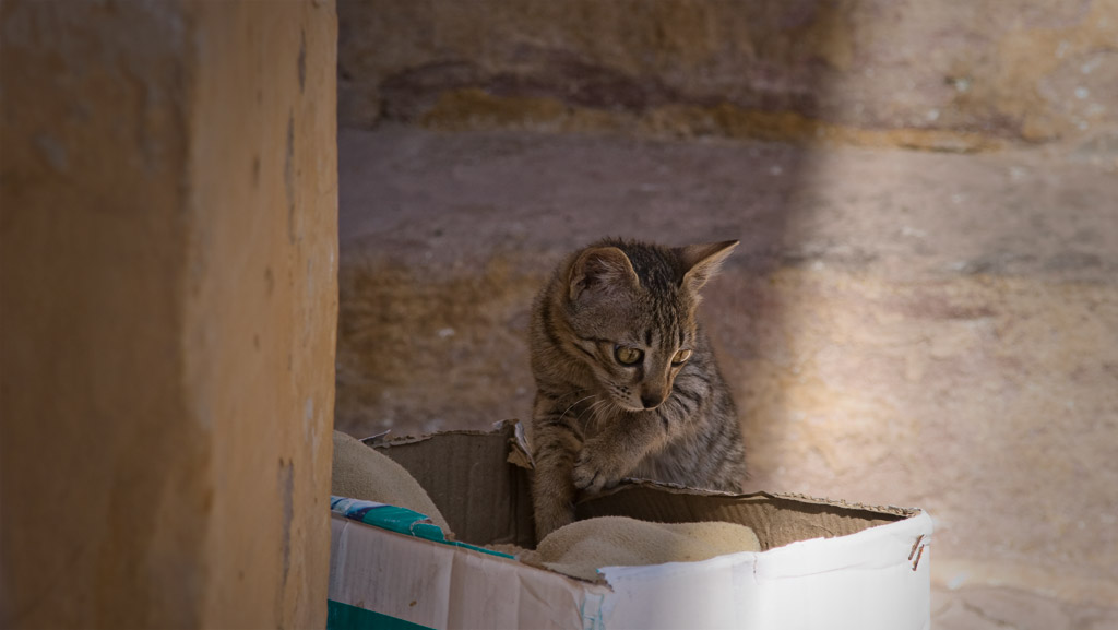Cat at the fort, Jodhpur