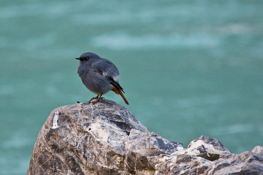 Plumbeous water redstart on the Ganges at Rishikesh