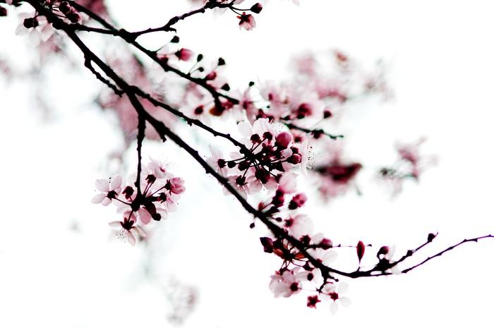 cherry blossom branch - photo #14