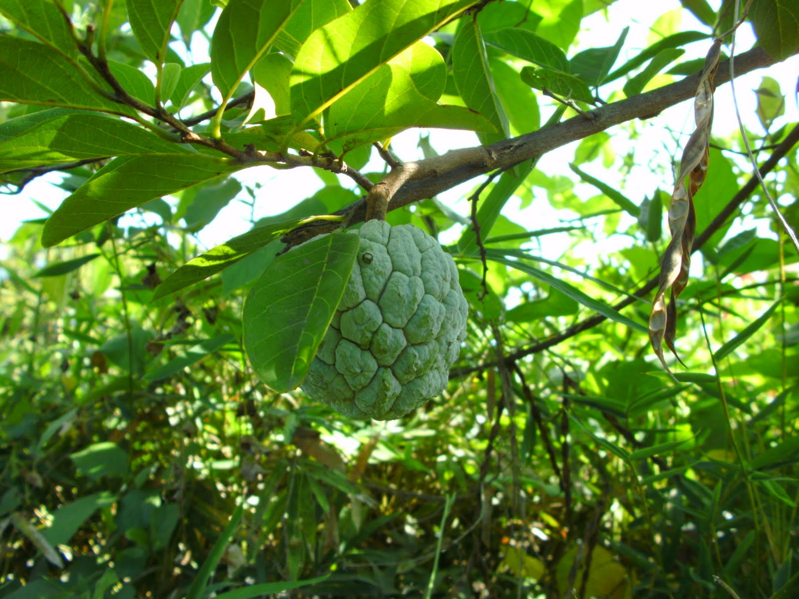 annona squamosa atis leaves as molluscicide General information description annona squamosa is a member of the annonaceae familyit is a tree or large shrub with can grow up to 5m high, with a smooth and low trunk and numerous patent, rounded branches.