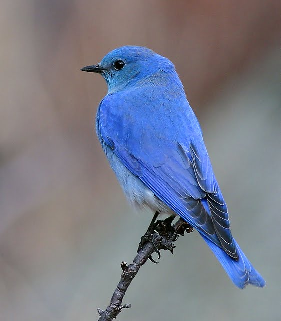 Birding Is Fun How the Mountain Bluebird came to be the