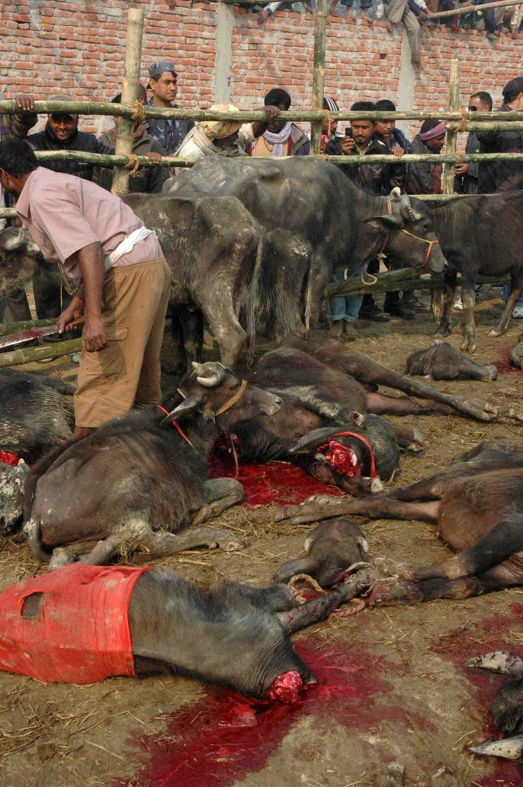 Aninimal Book: Stop the World's Largest Animal Sacrifice: Images of ...