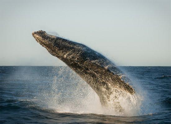 Rocketing humpback whale