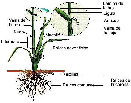 Ing Agropecuario Carlos Zambrano Morfología De La Planta