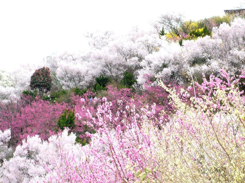 今まで多くのお花見に出会ってきましたがここは又雰囲気が違う 阿部さんの... パソコンサークル