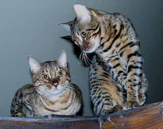 Bengal Cats like Jacey and Me
