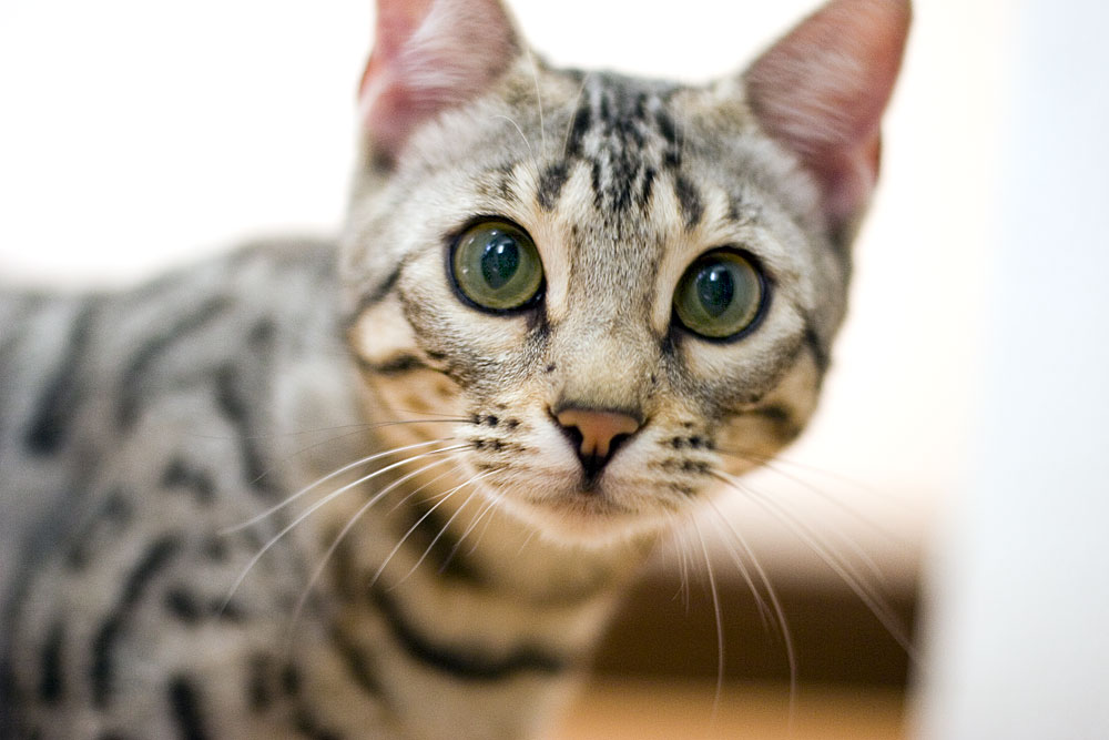 Cat Tips: The Bengal Cat Personality
