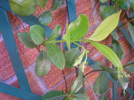 El jardin de pepa enredaderas y trepadoras - Color verde hoja ...
