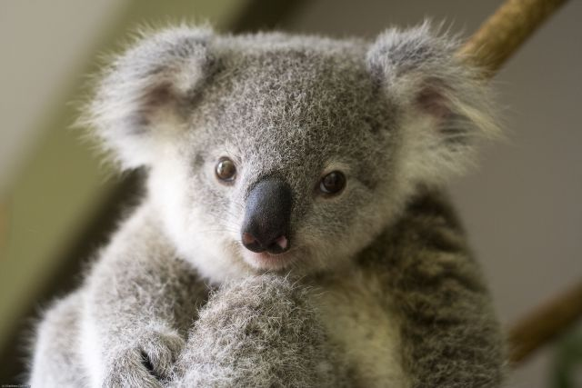 Cute And Funny Baby Koala Wallpaper Animale Haioase August 2010