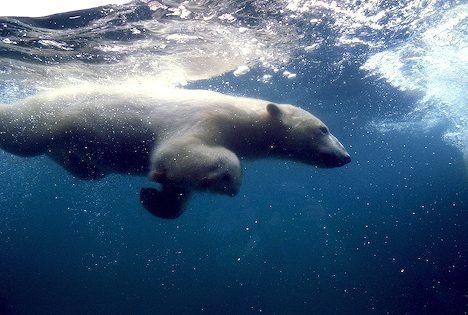 Polar bear swimming in ocean - photo#54