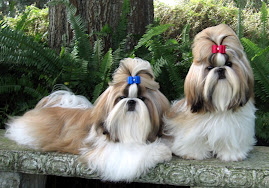 Tian Mi Shih Tzu Puppies