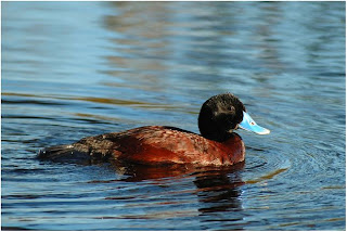 Blue billed Duck