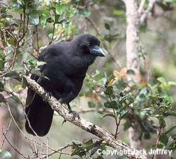 cuervo hawaiano Corvus hawaiiensis island birds of Hawaii