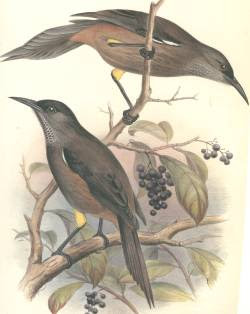 kauai oo Moho braccatus extinct birds of Hawaii island
