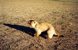 Mongolian Marmot