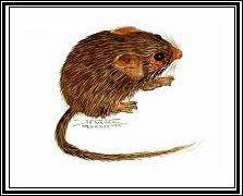 rata de las rocas Zyzomys paliatilis