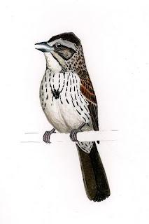sabanero serrano Xenospiza bailey Mexico extinct birds