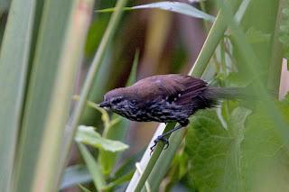 hormiguerito de Parana Formicivora acutirostris extinct birds in Brazil
