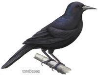 turpial jamaiquino Nesopsar nigerrimus aves de Jamaica en extincion