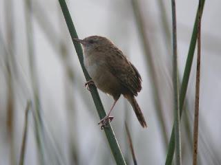 ratona de apolinar Cistothorus apolinari aves de Colombia en extinción