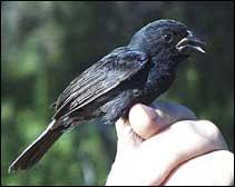 semillero de los carrizales Amaurospiza carrizalensis aves de venezuela en peligro de extincion