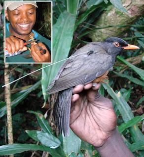zorzal Turdus helleri aves de Kenia en extincion